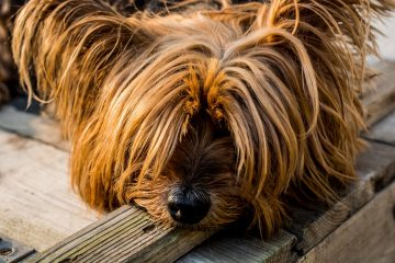 Mini-Hund-Blog-Pirat