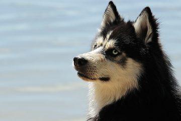 Hunderasse Husky - Blog-Pirat
